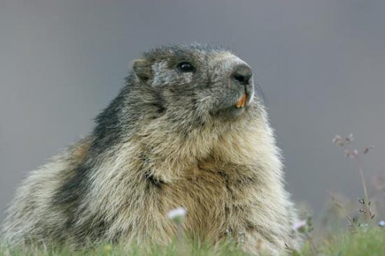 la marmotte... reine des prés!